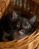 Gatinho preto, branco, e alaranjado que encontra-se na cesta do piquenique Fotografia de Stock