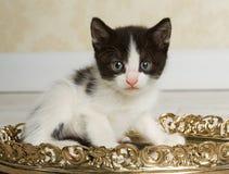 Gatinho preto e branco Fotografia de Stock