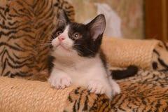 Gatinho preto e branco Foto de Stock
