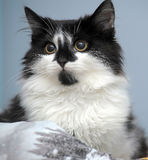 Gatinho preto e branco engraçado Imagem de Stock
