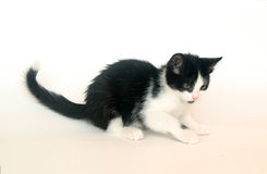 gatinho preto e branco, gato Fotografia de Stock Royalty Free