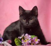 Gatinho preto no fundo cor-de-rosa Foto de Stock Royalty Free