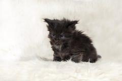 Gatinho preto pequeno do racum de maine com olhos azuis no fundo branco fotografia de stock royalty free