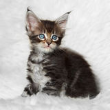 Gatinho preto pequeno do racum de maine do gato malhado que senta-se no fundo imagem de stock royalty free