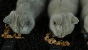 Gatinho que come o alimento molhado das placas filme
