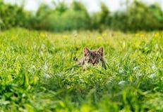 Gatinho que esconde entre a grama verde Imagens de Stock Royalty Free
