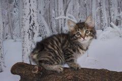 Gatinho que joga na floresta do inverno Fotos de Stock Royalty Free