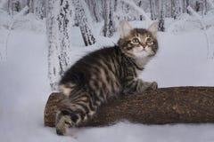 Gatinho que joga na floresta do inverno Imagem de Stock Royalty Free