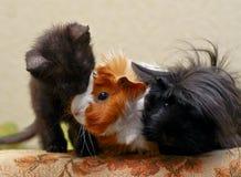 gatinho que senta-se ao lado de duas cobaias peludos Fotografia de Stock