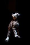 gatinho reto escocês do gato malhado Foto de Stock Royalty Free