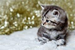 Gatinho reto escocês do gato malhado de mármore Imagens de Stock Royalty Free