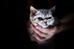 Gatinho reto escocês do gato malhado irritado Fotos de Stock