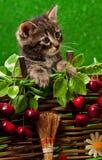 Gatinho siberian bonito Imagem de Stock Royalty Free