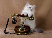 Gatinho Siberian com telefone retro Imagens de Stock Royalty Free