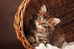 Gatinho siberian macio bonito em uma cesta no fundo marrom Retrato Fotos de Stock