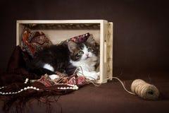 Gatinho siberian macio bonito em uma cesta no fundo marrom Retrato Imagens de Stock Royalty Free