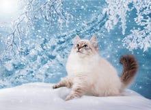 Gatinho Siberian na neve Foto de Stock Royalty Free