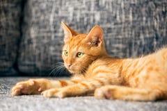 Gatinho vermelho Fotografia de Stock