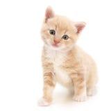 Gatinho vermelho Foto de Stock