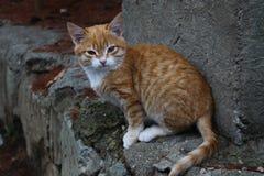 Gatinho vermelho bonito Imagem de Stock Royalty Free