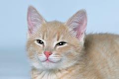 Gatinho vermelho bonito bonito do focinho Fotografia de Stock