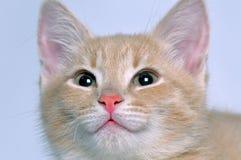 Gatinho vermelho bonito bonito do focinho Imagens de Stock