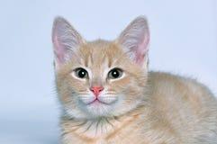 Gatinho vermelho bonito bonito do focinho Imagem de Stock