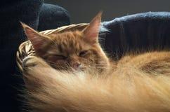 Gatinho vermelho bonito de Maine Coon Fotos de Stock