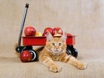 Gatinho vermelho bonito de MC do Coon de Maine com vagão vermelho Fotografia de Stock Royalty Free