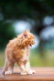 Gatinho vermelho do racum de maine que silva Foto de Stock