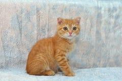 Gatinho vermelho no fundo azul Imagem de Stock