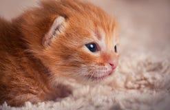 Gatinho vermelho recém-nascido Fotos de Stock