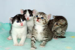gatinhos Fotografia de Stock Royalty Free