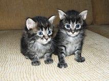 gatinhos Imagens de Stock