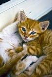 gatinhos Fotos de Stock