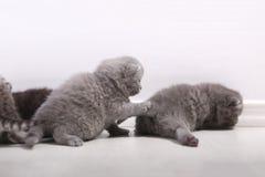 Gatinhos bonitos de Ingleses Shorthair Imagem de Stock