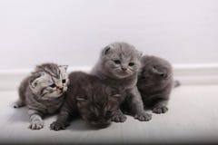 Gatinhos bonitos de Ingleses Shorthair Foto de Stock
