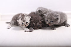 Gatinhos bonitos de Ingleses Shorthair Fotos de Stock