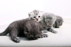 Gatinhos bonitos de Ingleses Shorthair Imagens de Stock Royalty Free