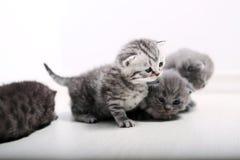 Gatinhos bonitos de Ingleses Shorthair Fotografia de Stock Royalty Free