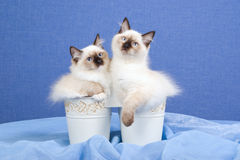 Gatinhos bonitos de Ragdoll dentro das cubetas Imagem de Stock