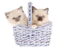 Gatinhos bonitos de Ragdoll na cesta do lilac Fotografia de Stock