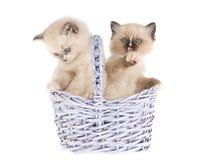 Gatinhos bonitos de Ragdoll na cesta do lilac Fotos de Stock