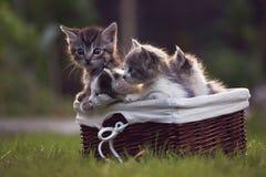 Gatinhos bonitos em uma cesta Fotos de Stock Royalty Free