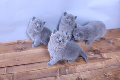 Gatinhos bonitos que olham acima, Ingleses Shorthair Fotografia de Stock Royalty Free