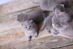 Gatinhos bonitos que olham acima, Ingleses Shorthair Foto de Stock