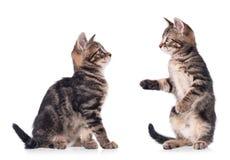 Gatinhos bonitos sérios Fotografia de Stock Royalty Free