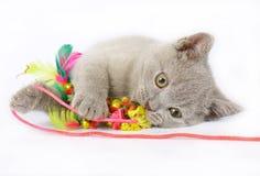 Gatinhos britânicos com brinquedo Fotos de Stock Royalty Free