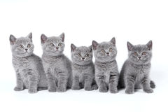 Gatinhos britânicos de Shorthair Fotografia de Stock Royalty Free