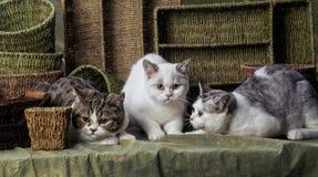 Gatinhos britânicos de Shorthair Foto de Stock